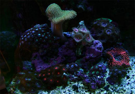Nano Reef under Actinic