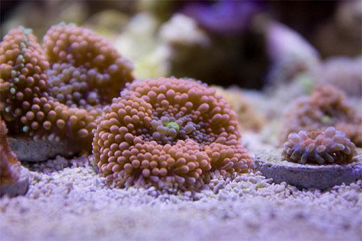 Ricordea Florida Coral 1