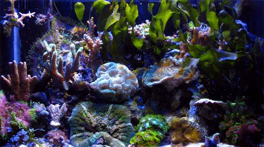 Nemesis Nano - pico reef tank