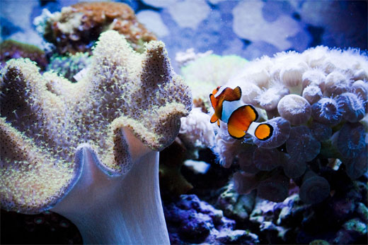 Little Clownfish From the Reef