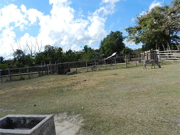 Calauit Safari Tour Wild Boar