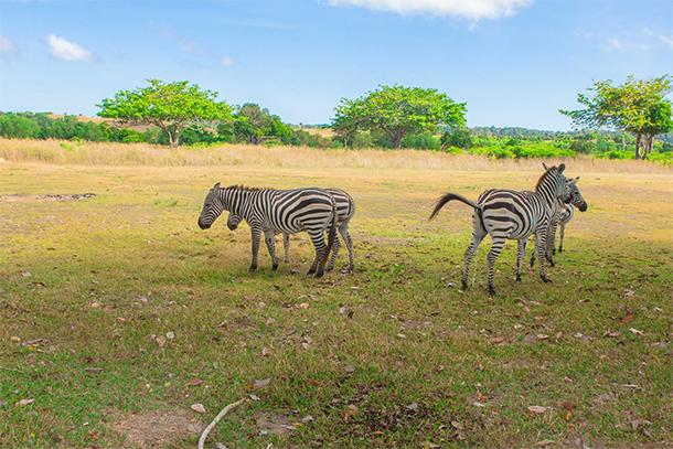 Calauit Safari Tour Zebras