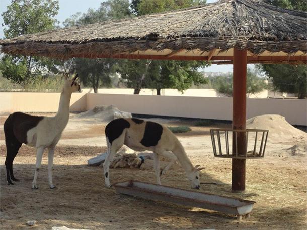 Bahrain Attractions Al Areen Llama