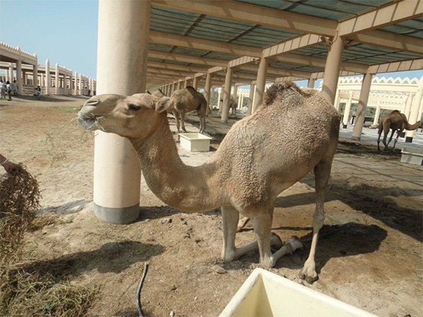 Bahrain Attractions Camel Farm