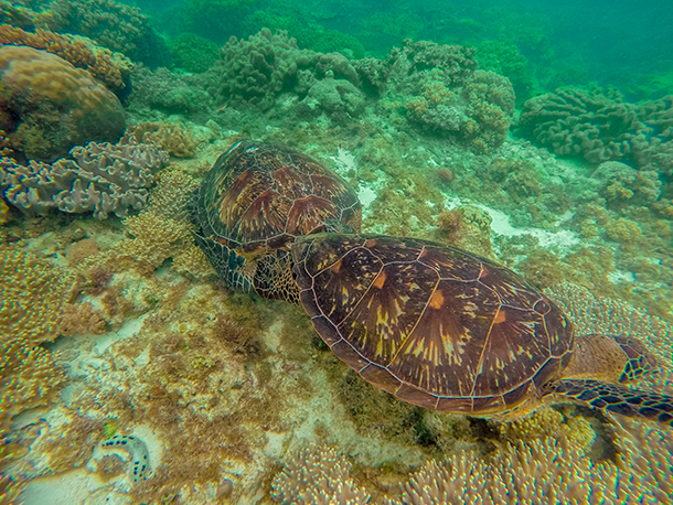 Apo Island: Two Sea Turtles