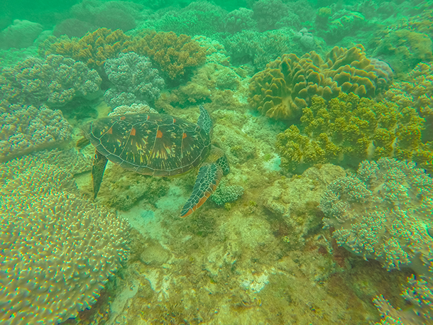 Apo Island: Sea Turtles at the Corals
