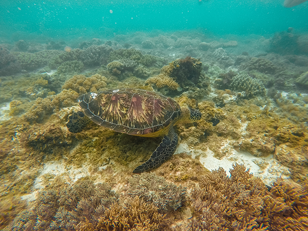 Apo Island: First Look at Sea Turtles