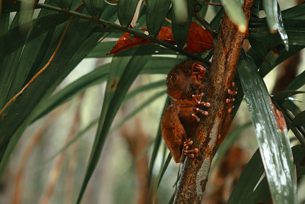 Tarsier at the Sanctuary