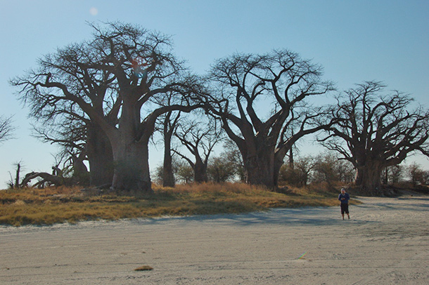 Baines Baobabs (Seven Sisters)